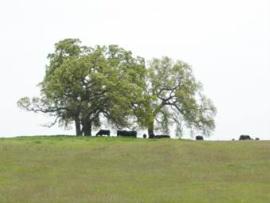 Cattle grazing under oaks