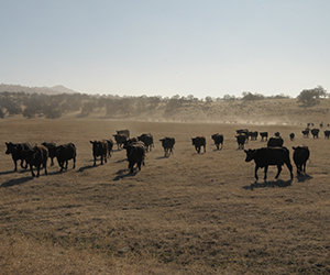 Cattle gathering to feed in a dusty field during the California drought