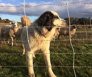 Livestock guardian dog behind electric fence