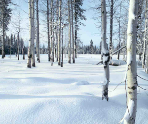Aspen stand after snowfall