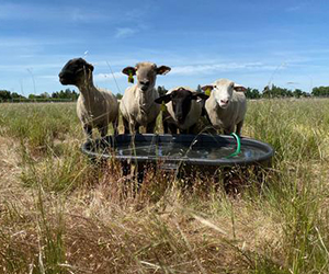 Sheep at water trough in grazing management experiment